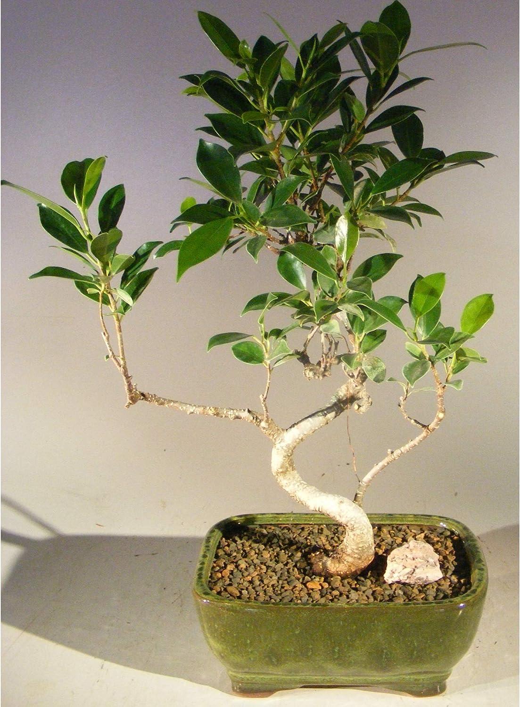 Amazon Com Ficus Retusa Bonsai Tree Small Curved Trunk Style Garden Outdoor