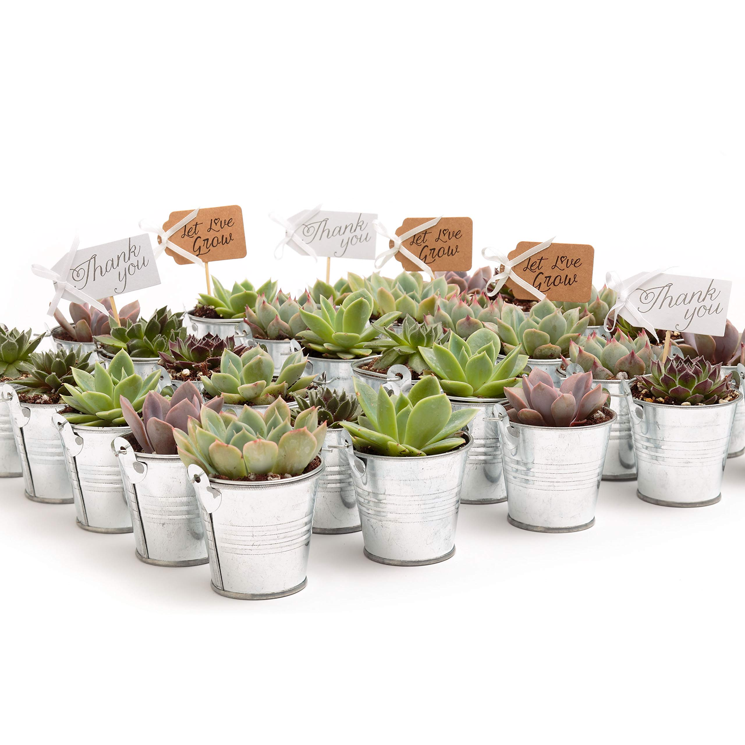 2 in. Wedding Event Rosette Succulents with Tin Metal Pails and Thank You Tags (30)