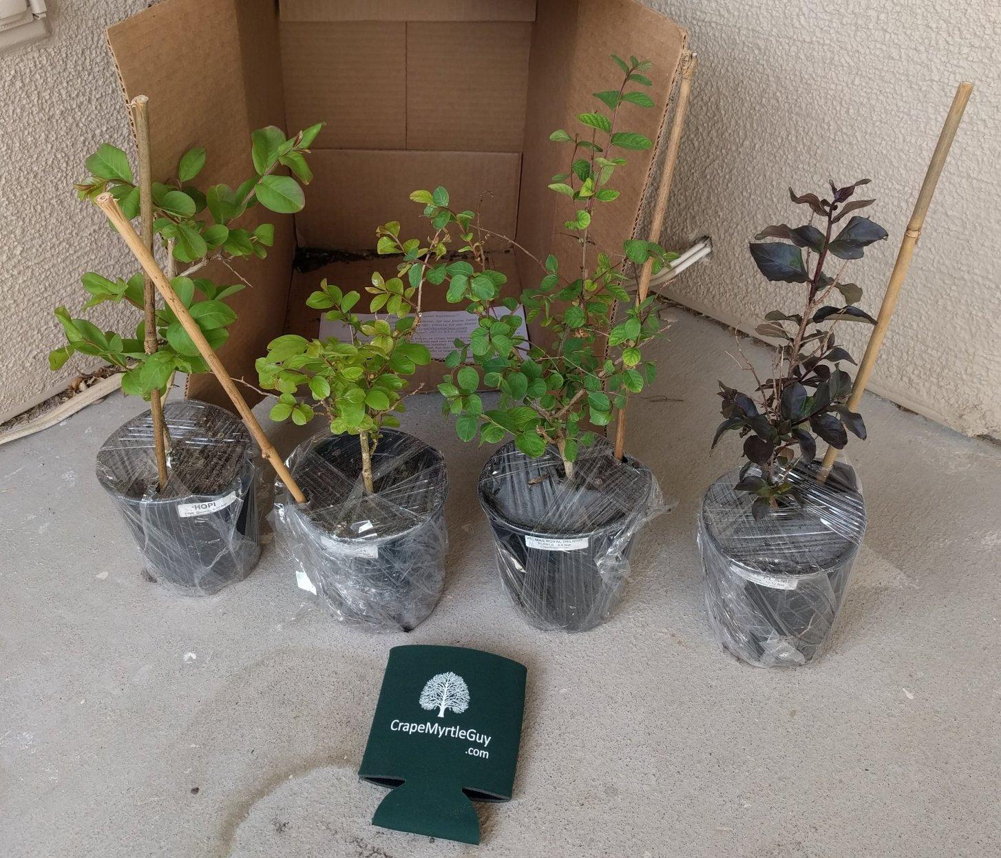 6 Pack - Arapaho - Red Flowering Crape Myrtle Trees - Lagerstroemia by CrapeMyrtleGuy (Image #1)