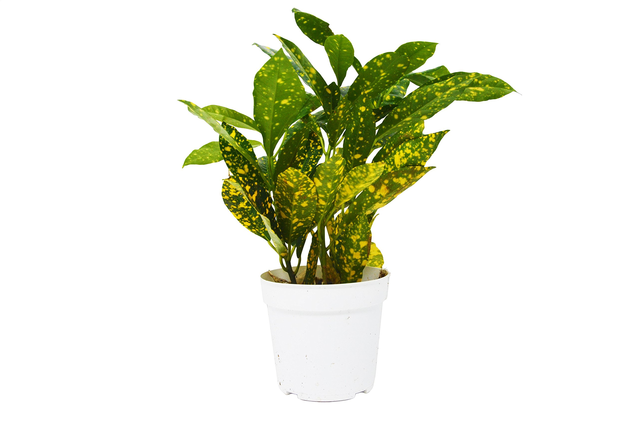 Live 'Gold Dust' Croton in Pot - Live Plant - FREE Care Guide - 4'' Pot by House Plant Shop