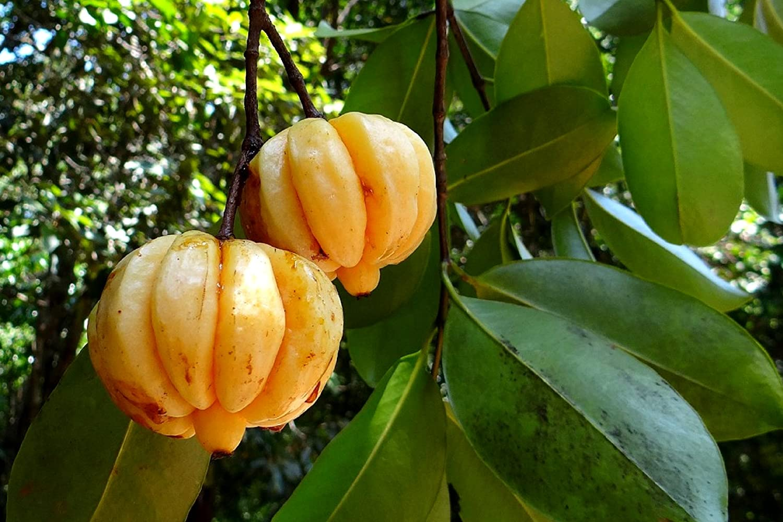 Creative Farmer Live Plant Garcinia Cambogia Tropical Fruit Herb