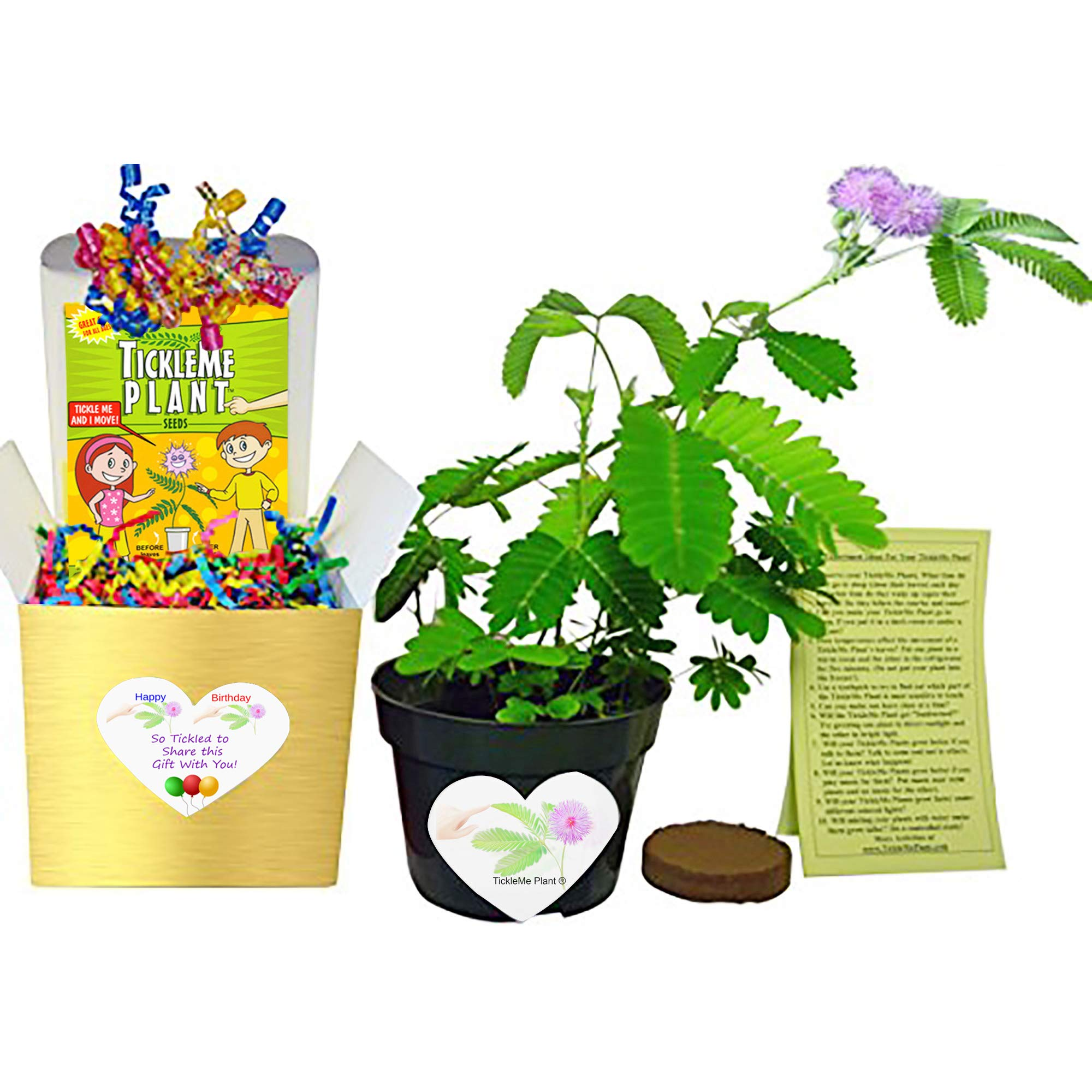 TickleMe Plant Birthday Gift Box Set - Great Unique Gift to Grow This Fun House Plant That Closes Its Leaves When You Tickle It or Blow It a Kiss! It Even Flowers. Perfect for Nature Lovers. by TickleMe Plant