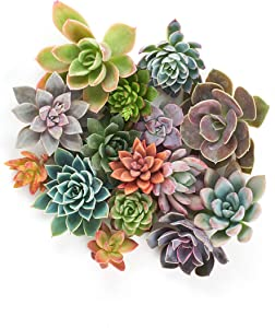 Shop Succulents | Create Collection | Assortment of Hand Selected Indoor Succulent Cuttings for DIY Projects, Living Wall Arangements and Wreaths, 5-Pack