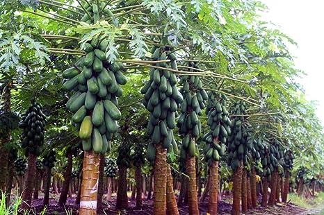 Amazoncom 30 Maradol Carica Papaya Seeds Meradol Caribbean Red