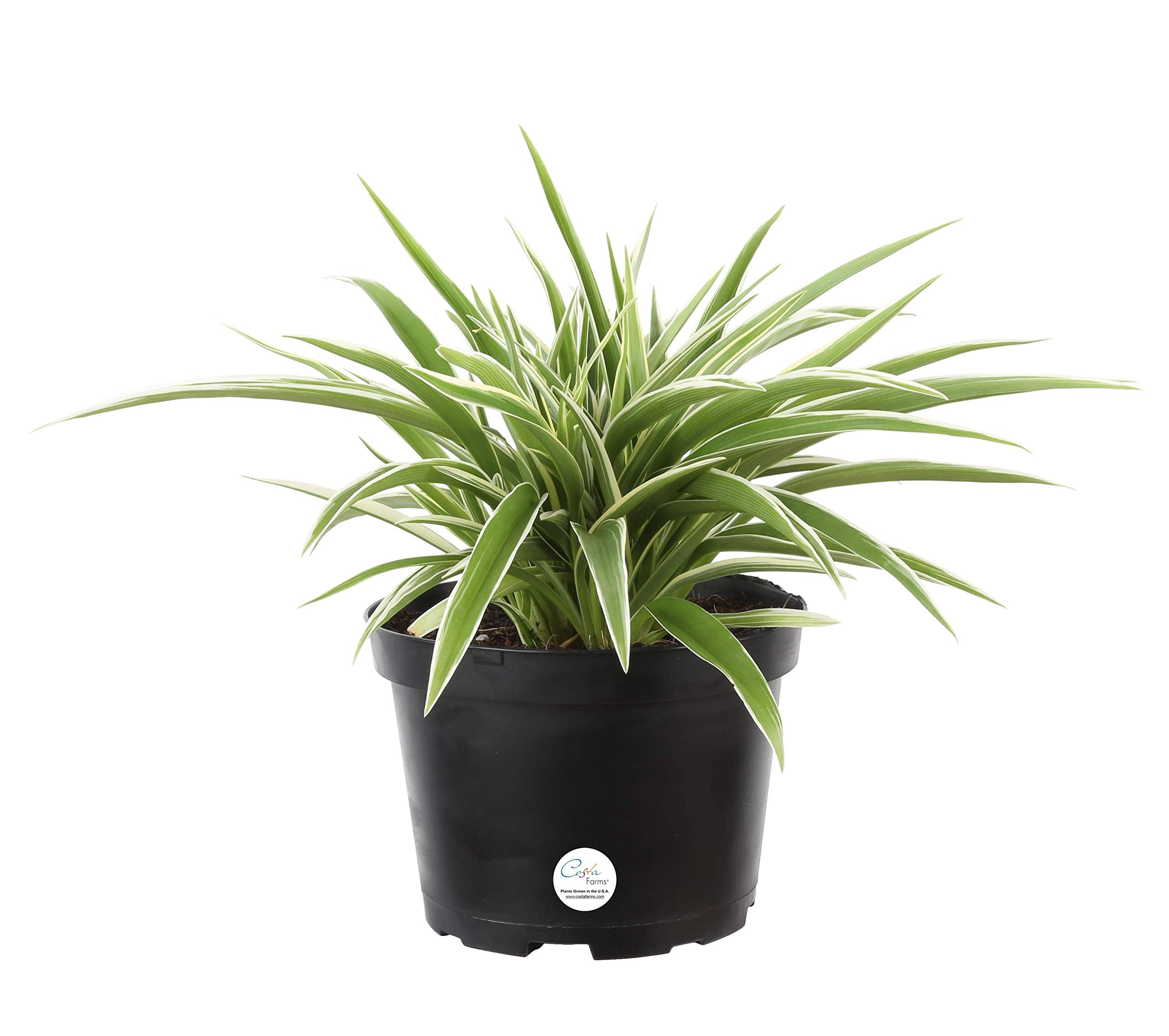 Costa Farms Chlorophytum comosum Spider Live Indoor Plant, 12-Inches Tall, Ships in Grower's Pot
