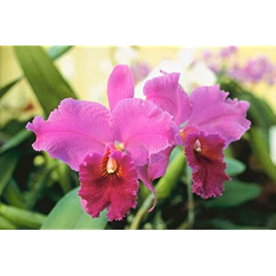 Hawaiian Cattleya Orchid Starter Plant - 6 - 10 Inches Tall, Planted in 2 Inch Pot - no Bloom - Discount HawaiianGIft : Garden & Outdoor