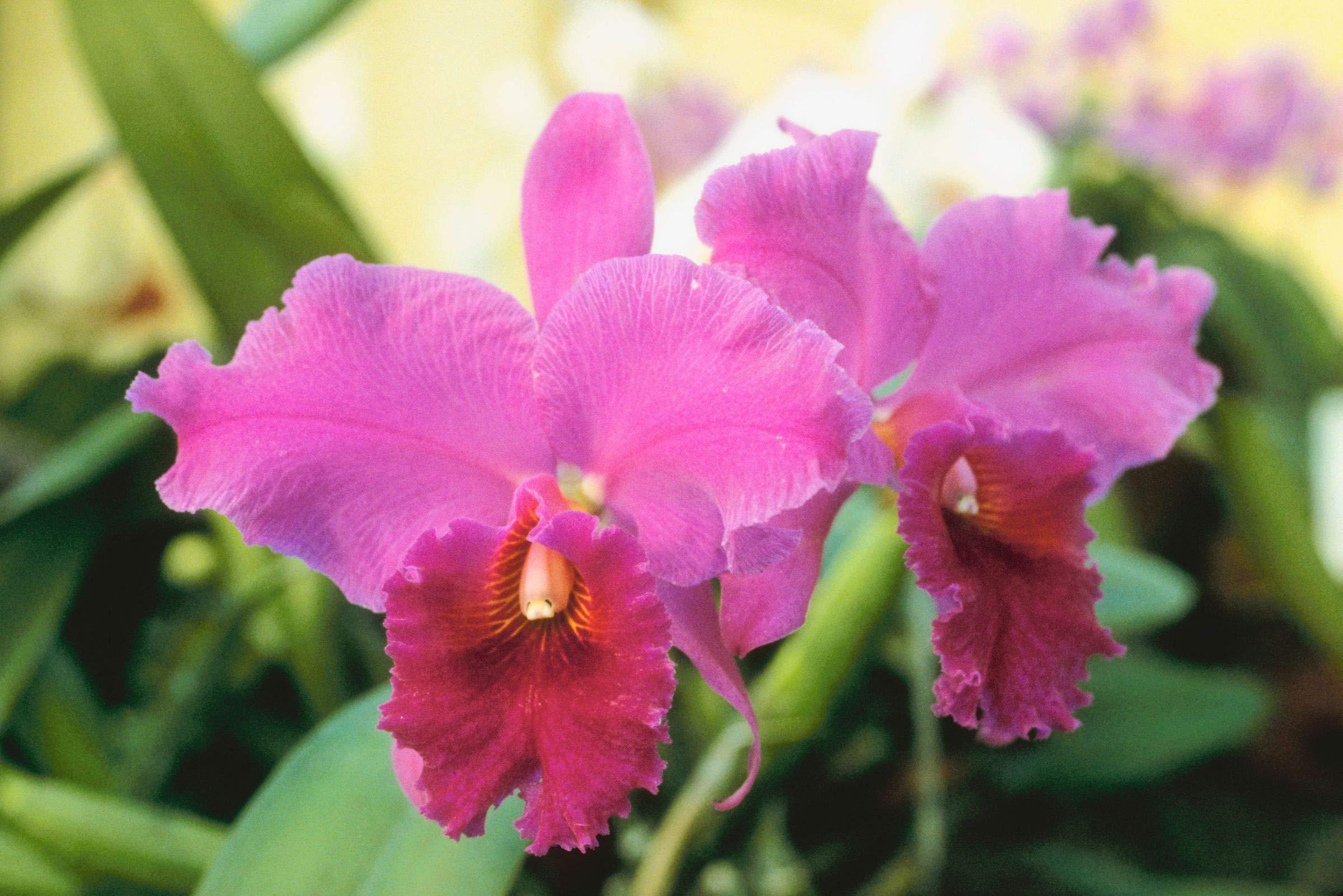 Hawaiian Cattleya Orchid Plant 2'' Pot ~ Grow Hawaii