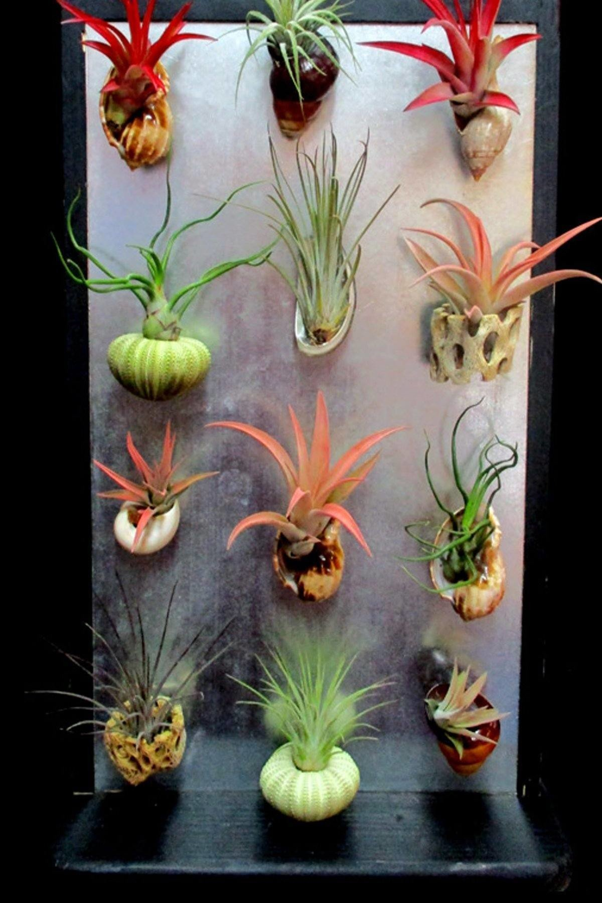 Magnet with Tillandsia Air Plant Bromeliad (Cant Ship AZ CA), 1 Pack