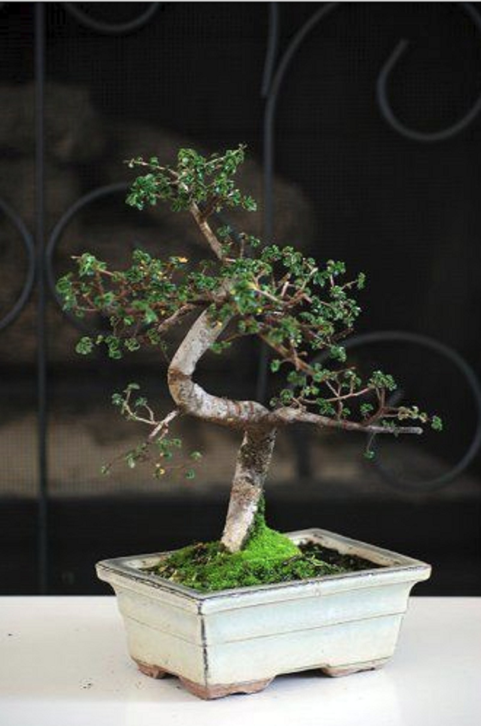 Hot Sale! Chinese Elm Bonsai Tree 10 years old specimen, 10'' - 12'' tall Mature Bonsai
