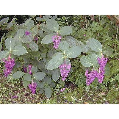 Medinilla myriantha Ballerina | 20_Seeds : Garden & Outdoor