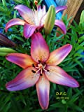"5 bulbs LILY~ROYAL SUNSET~FLOWER BULBS 48"" TALL HARDY PERENNIAL PLANTS HUMMINGBIRDS LIKE"