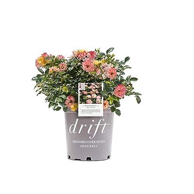 Drift Peach Rose, 2 Gal : Garden & Outdoor
