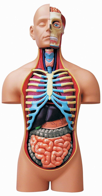 Amazon Learn About Human Anatomy 15 Inch Deluxe Torso Model