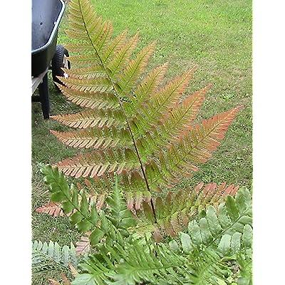 4 Pack Fern Spores Bundle Autumn, Cut Leaf, Rattlesnake, Japanese Painted : Garden & Outdoor