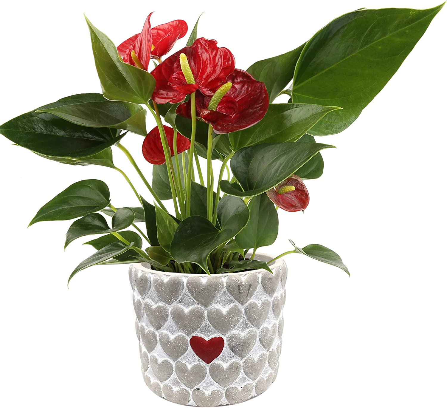 Costa Farms Live Anthurium Indoor Plant In Premium Heart Stone Planter 10 Inches Tall Mother S Day Gift Garden Outdoor