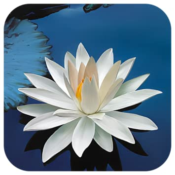 Amazoncom Lotus Flower Live Wallpaper Appstore For Android