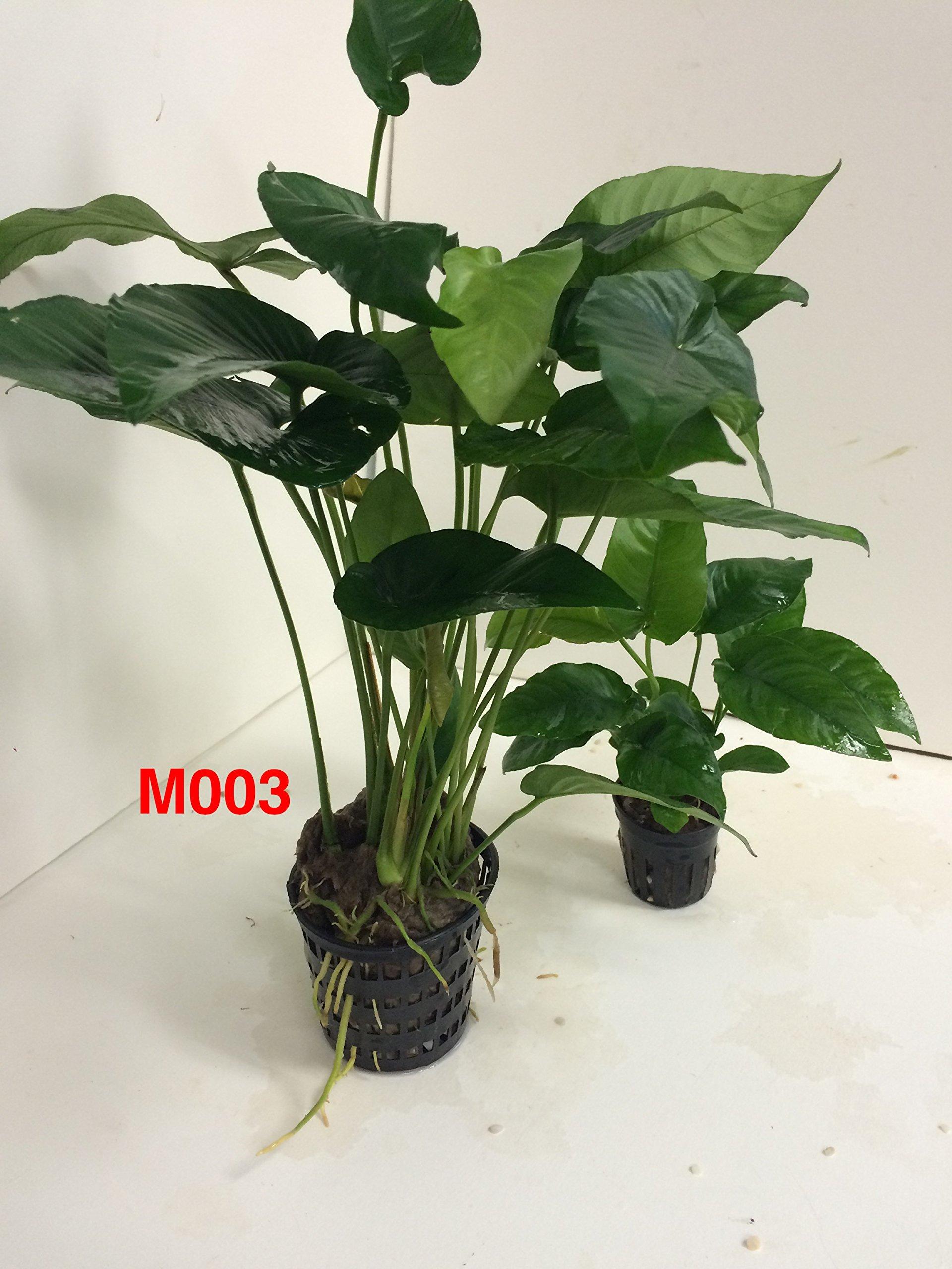 Anubias barteri striped Mother Pot Plant M003 Live Aquatic Plant by Jayco