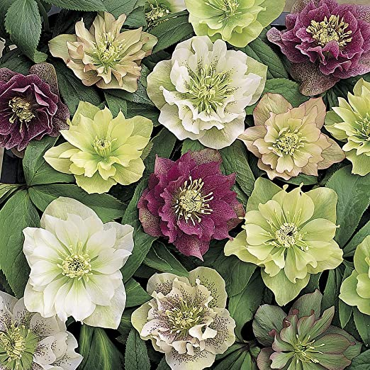 Yougarden Hardy Hellebore Double Flowered 6 Plants 9 Cm Pot