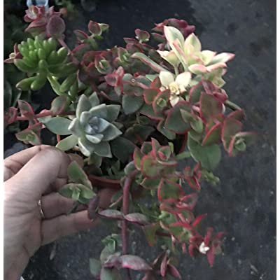 "AchmadAnam - Live - Rooted -Assorted Succulents Variety Pack/Wedding Favors in 4"" Pot : Garden & Outdoor"
