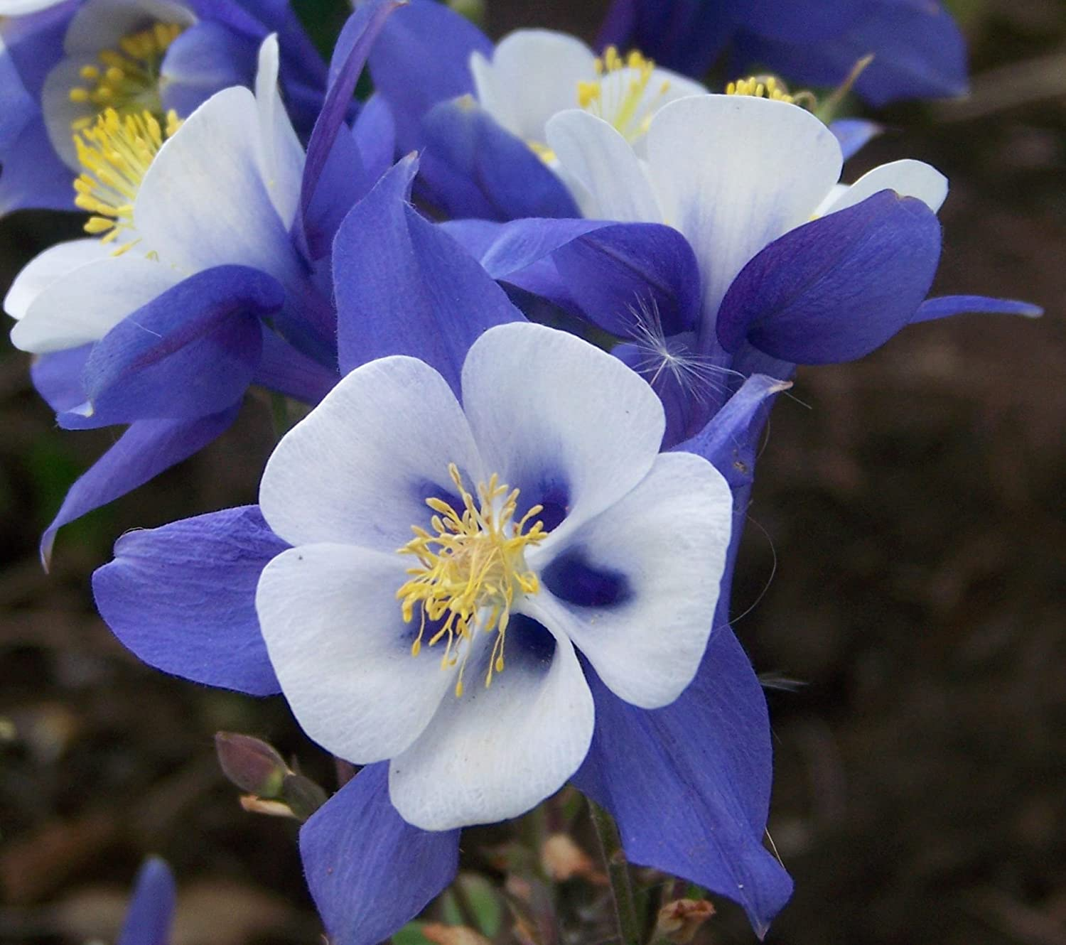 Amazon 100 columbine seed mckana giants mix redyellowblue amazon 100 columbine seed mckana giants mix redyellowbluepinkwhite garden outdoor izmirmasajfo