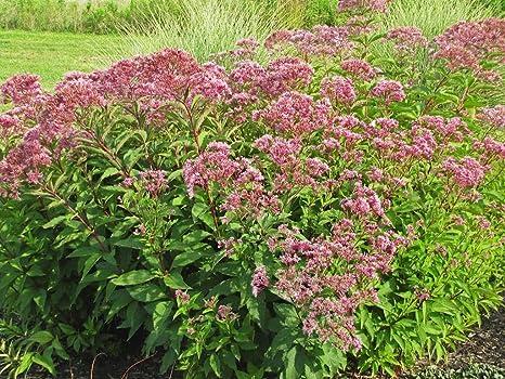 Amazon Com Sweet Joe Pye Weed Seeds Spotted Flower Hummingbird