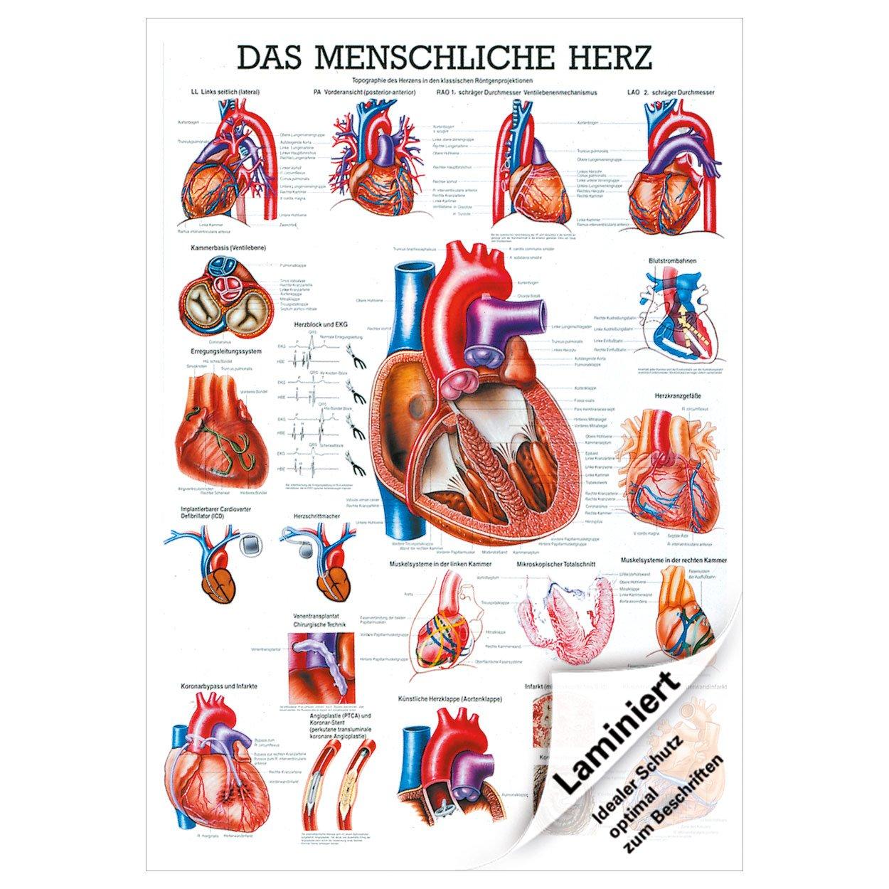 Das Herz Mini-Poster Anatomie 34x24 cm medizinische Lehrmittel ...