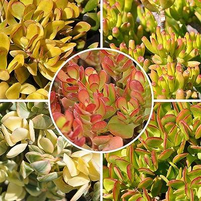 AchmadAnam - Succulent Crassula Ovata Jade Plant Collection 5 Varieties of 10 Fresh Cuttings : Garden & Outdoor