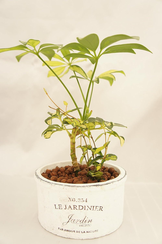 オリーブの木テラコッタ鉢植え