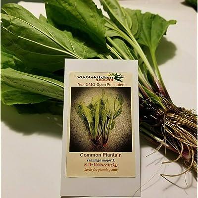 Seeds Broadleaf Plantain - Plantago Major -5000 Seeds=5g + for Planting Perennial Medicinal - Edible herb Plant : Garden & Outdoor