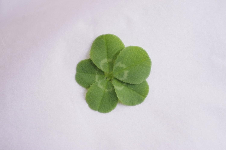 四つ葉のクローバー - Four-leaf clover - JapaneseClass.jp