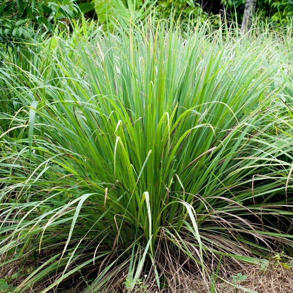 3 Live Texas ORGANIC Lemongrass Stalks Plugs Cymbopogon Sereh Plant Lemon Grass