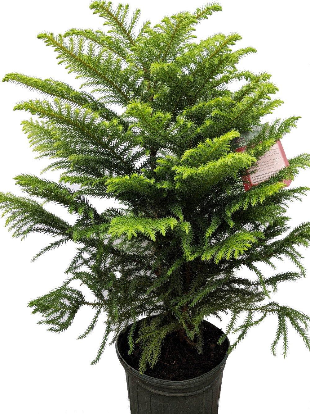 Norfolk Island Pine - The Indoor Christmas Tree - 8'' Pot - 20-24 Tall