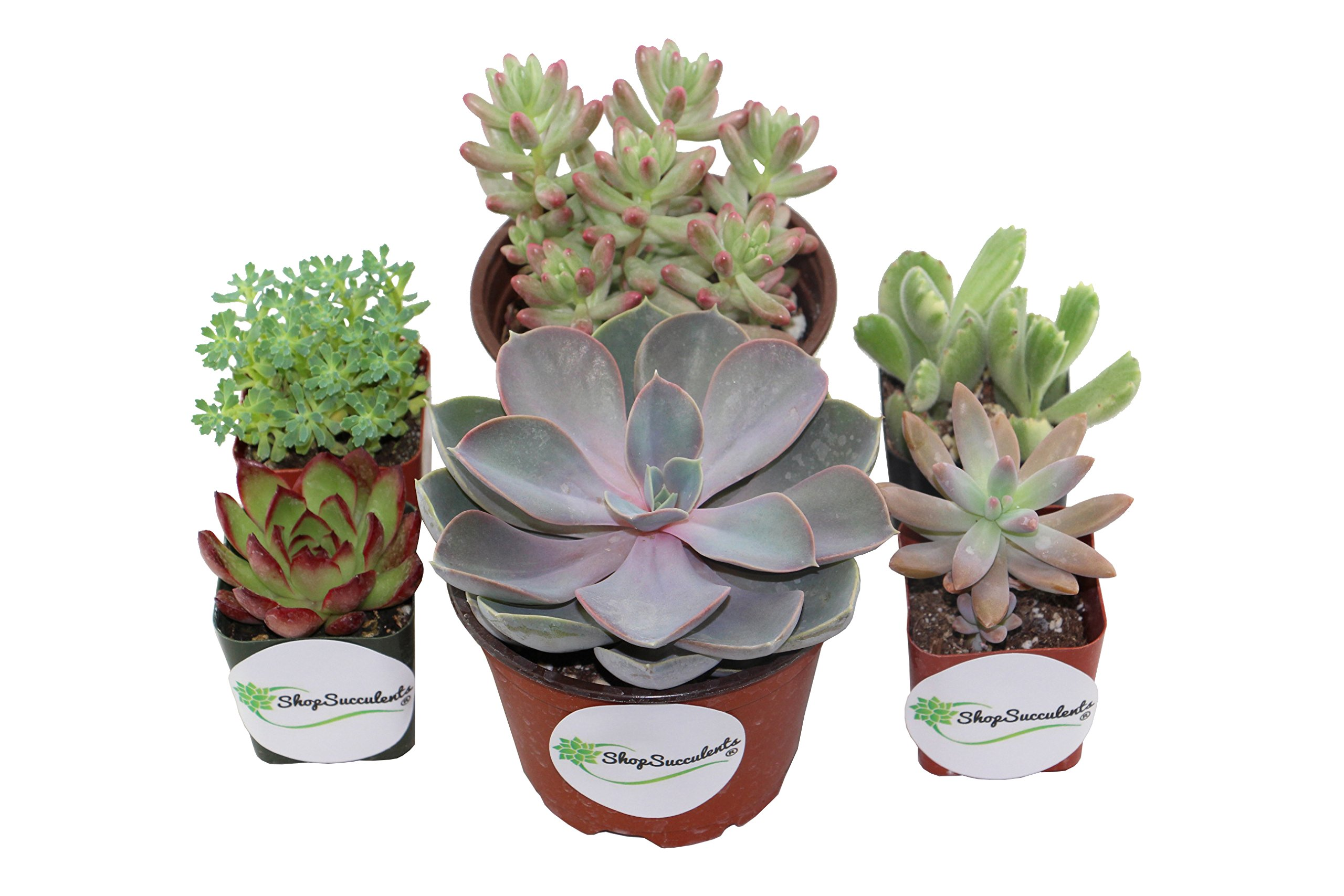 Shop Succulents   Assorted Live Plants, Hand Selected Variety Pack of Mini Succulents     Collection of 6 in 2'' & 4'' pots)