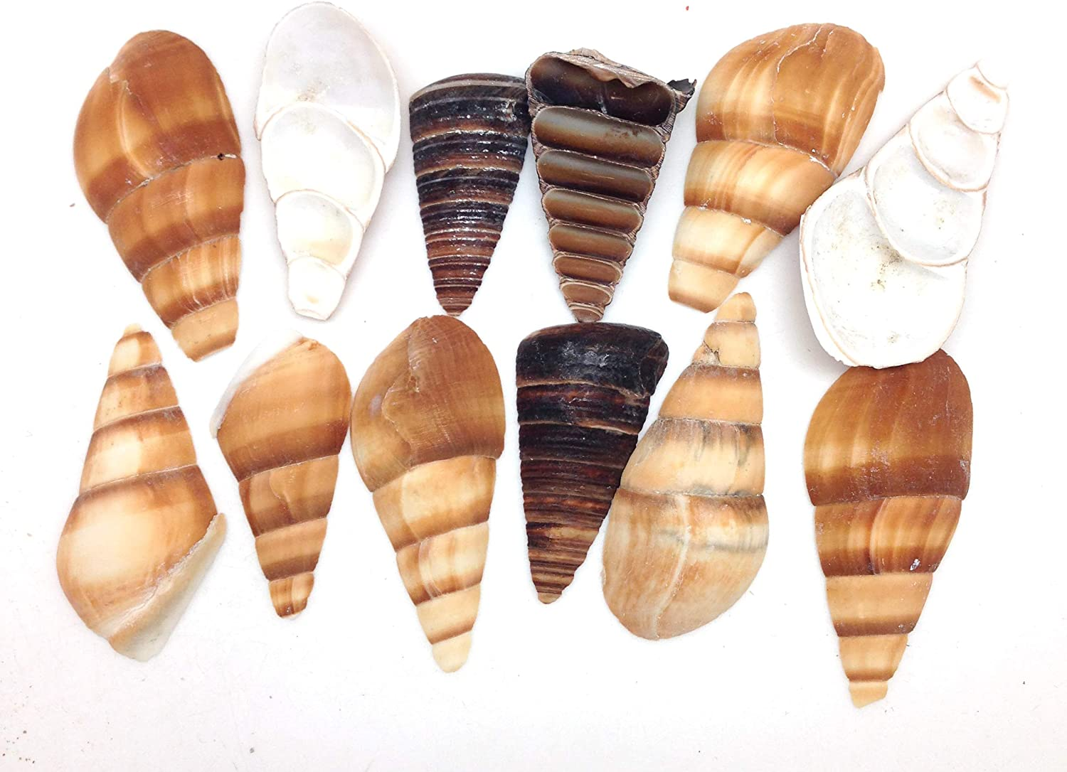 PEPPERLONELY 20PC Side Cut Assorted Mixed Sea Shells, 2 Inch ~ 3 Inch