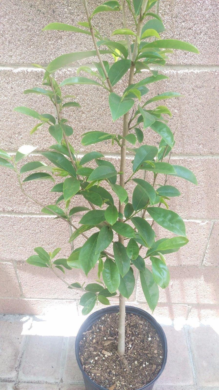 DWARF-SOURSOP (Annona Muricata) Tropical Fruit Tree by bluestargarden168