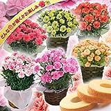 母の日 カーネーション 4号鉢 お菓子 セット バームクーヘン おまかせ (どんな色が届くかお楽しみ) 母の日 フラワーギフト 鉢花