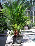 10 Seeds Cyrtostachys Renda (Cyrtostachys Lakka, Lipstick Palm) House Plant