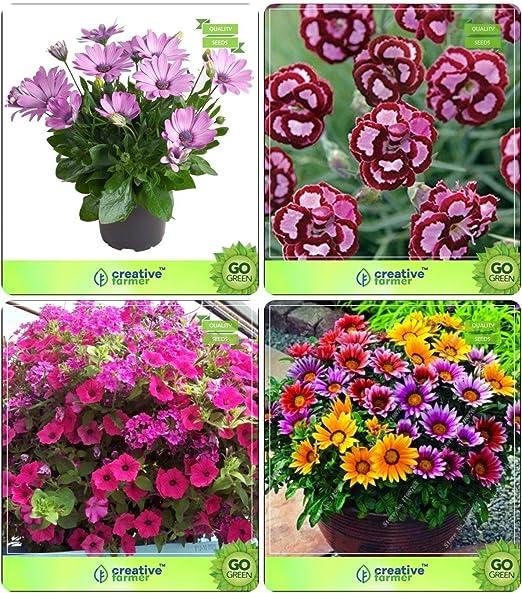 Semillas de flores Pinkdose®: Semillas de plantas para jardín de techos Combo Osteopermum, Dianthus-Scarlet Red, Petunia-Rose, Gazania-Sunshine Paquete de semillas de flores de jardín: Amazon.es: Hogar