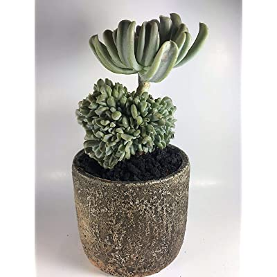 AchmadAnam - Live Plant - Crested Echeveria-Exact Plant in Decorative Pot-Rare Succulent-Bonsai Shaped : Garden & Outdoor