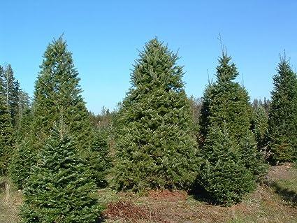 Christmas Tree Seeds.Amazon Com Douglas Fir Tree Seeds Christmas Tree Seed 50