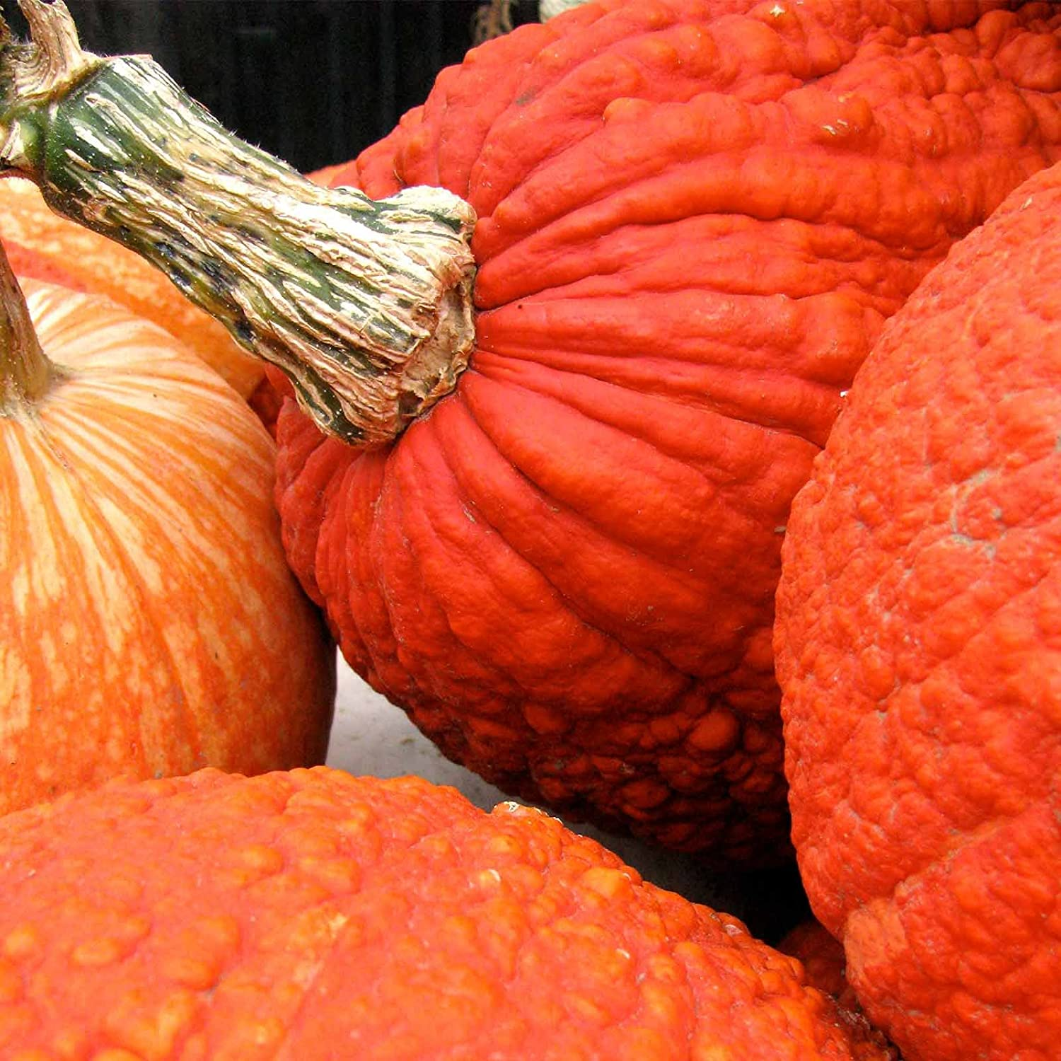 Pumpkin Garden Seeds - Red Warty Thing Variety - 4 oz (Treated) Seed - Non-GMO, Heirloom Decorative and Edible Pumpkins - Bright Orange