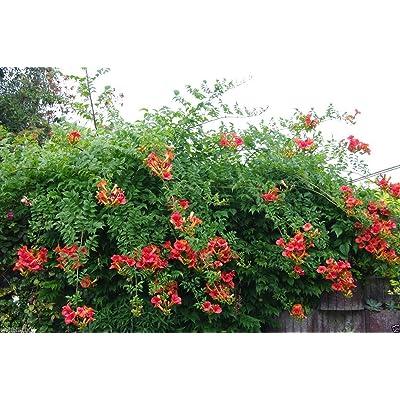 Campsis radicans Seeds, (Red Trumpet Vines ) - Hummingbird favorite !(100 Seeds) : Garden & Outdoor