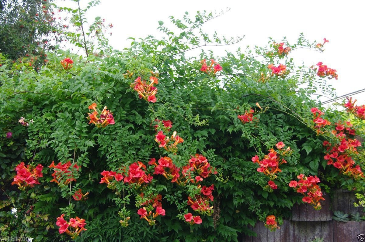 Picture of Live Common Trumpet Creeper aka Campsis radicans Plant Fit 5 Gallon Pot