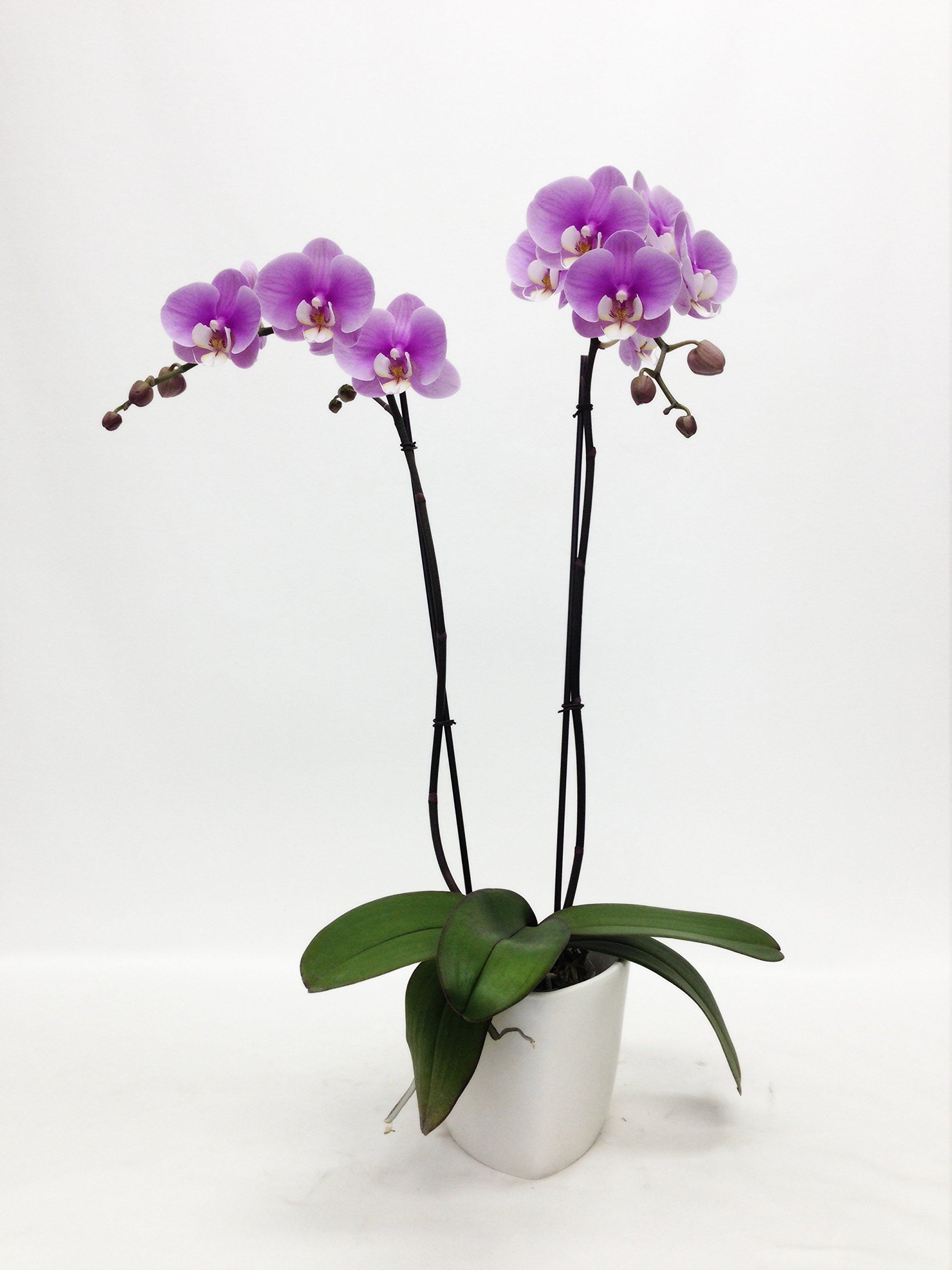 McLellan Botanicals 55401PW Live Orchid Plant, 5'' Pot, Purple by McLellan Botanicals (Image #1)