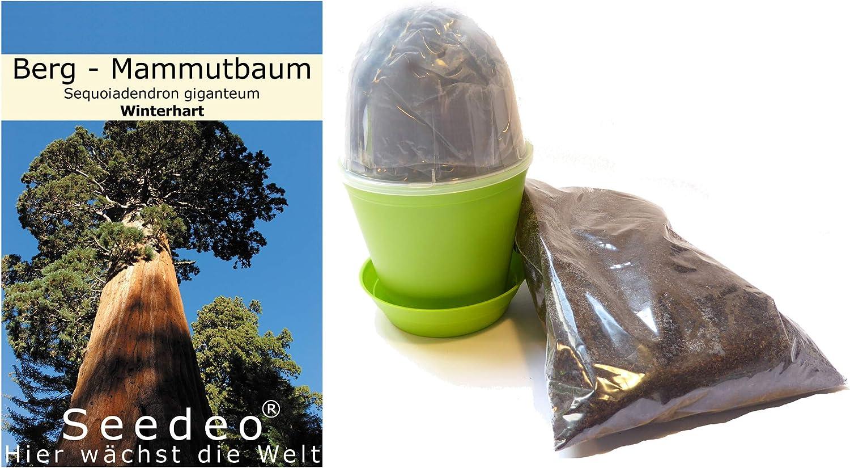 Wächst über 100 Meter hoch Größtes Lebewesen der Welt Bergmammutbaum Samen