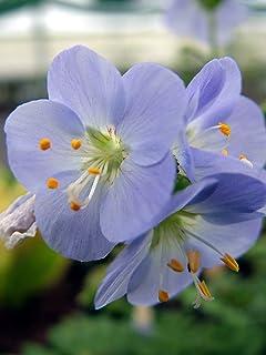 Polemonium caeruleum Brise d/'Anjou Jacob's ladder 9cm pot Please read descriptio