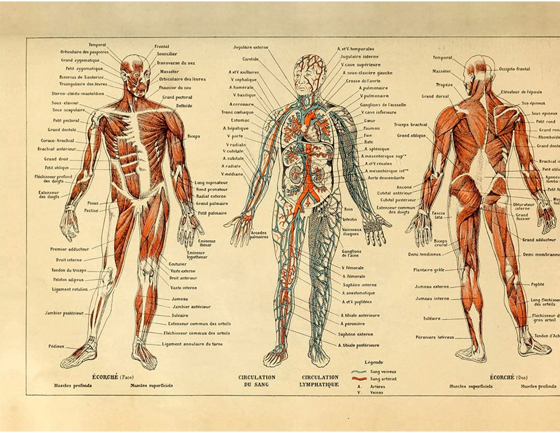 Amazon Com Meishe Art Vintage Poster Print Human Anatomy Reference Illustration Chart Diagram Layout Blood Vascular System Circulatory Muscular System Medical Skeleton Body Muscle Wall Decor Posters Prints