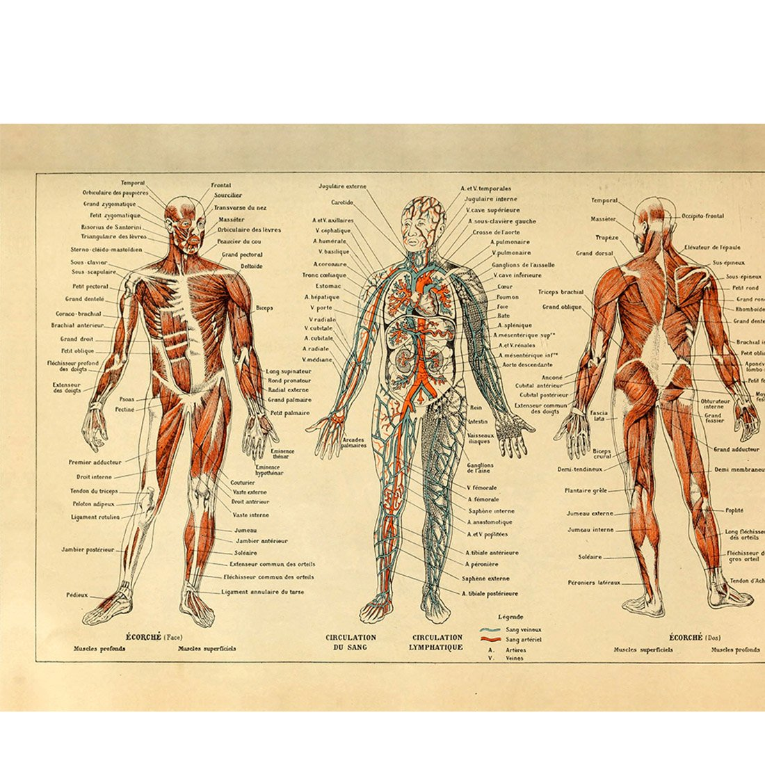 Body Anatomy Artwork