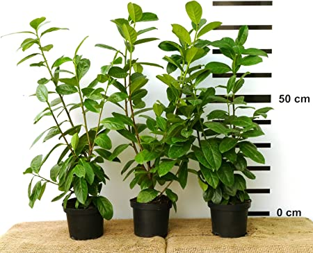 Kirschlorbeer Novita Hecke winterharte Heckenpflanze 40 Stk immergüne