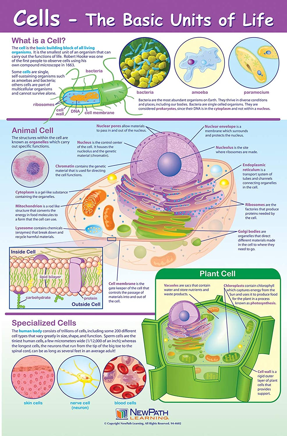 Laminated Cells Poster 23 x 35 Full-Color